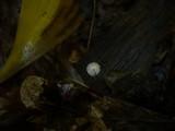 Marasmius quercophilus image