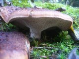 Sarcodon imbricatus image