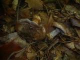 Cortinarius caesiogriseus image
