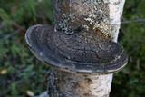 Phellinus nigricans image