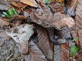 Sarcodon underwoodii image