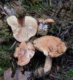 Lactarius alpinus image