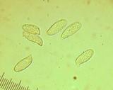 Ramaria vinosimaculans image