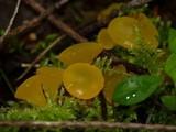 Guepiniopsis alpina image