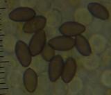 Psilocybe subaeruginosa image