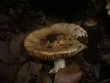 Cortinarius elatior image