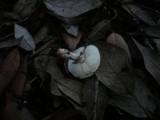 Lepiota forquignonii image