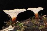Polyporus badius image