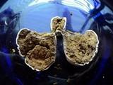 Calbovista subsculpta image