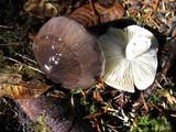 Tricholoma portentosum image