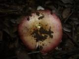 Russula decipiens image