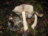 Lyophyllum infumatum image