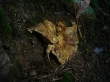 Albatrellus cristatus image