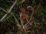 Cortinarius praestigiosus image