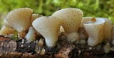 Cudoniella tenuispora image