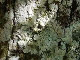 Image of Lichen laciniatus