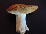 Russula aurea image
