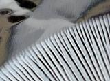 Amanita suballiacea image