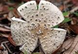Amanita multisquamosa image