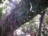Mycena corticola image