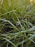 Panaeolus papilionaceus var. parvisporus image