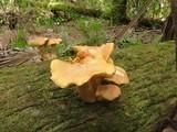 Gymnopilus subtropicus image