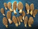 Morchella esculentoides image