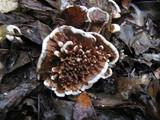 Hydnellum auratile image