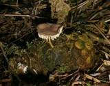 Strobilurus tenacellus image
