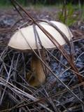 Tylopilus rhoadsiae image