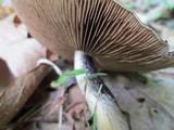 Psathyrella delineata image