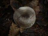 Hygrophorus pustulatus image