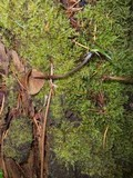 Kuehneromyces lignicola image