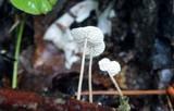 Mycetinis opacus image
