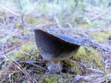 Helvella leucomelaena image