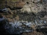 Capronia pilosella image
