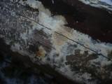 Coniophora arida image