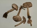 Marasmius albogriseus image