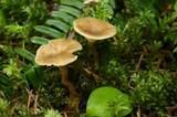 Clitocybe trulliformis image