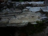 Hyphodontia quercina image