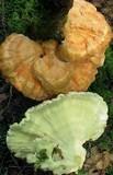 Laetiporus huroniensis image
