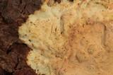 Phlebia phlebioides image