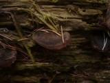 Lentinellus ursinus var. ursinus image