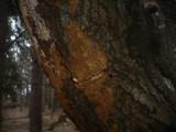 Fuscoporia ferruginosa image