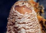 Coprinellus radians image