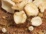 Dasyscyphella nivea image