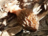 Morchella septentrionalis image