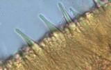 Marasmius cystidiosus image