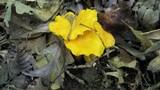 Cantharellus flavus image