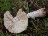Amanita rubescens var. rubescens image